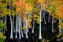 Swamp trees in Fall. Swamp Cypress trees standing in water with fall foliage royalty free stock image