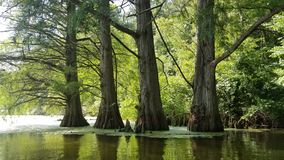 FOUR TREES IN A SWAMPY WOODS. Four trees stand as sentinels into the swamp Royalty Free Stock Photos