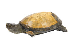 Swamp turtle. Isolated on a white background stock images