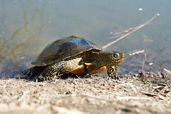 Swamp turtle Royalty Free Stock Photography