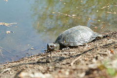 Swamp turtle Stock Photos