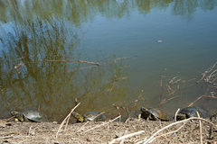 Swamp turtles Royalty Free Stock Image