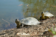 Swamp turtles Stock Image