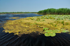 Swamp vegetation in the Danube Delta Stock Photo