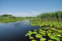 Swamp vegetation in the Danube Delta Royalty Free Stock Photos