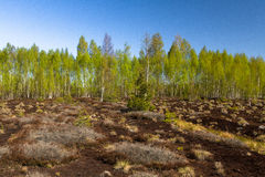Swamp vegetation in forest Royalty Free Stock Photo