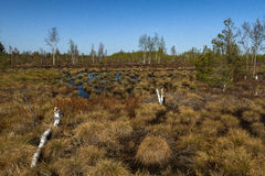 Swamp vegetation in water Royalty Free Stock Photography