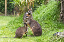 Swamp wallabies in park Royalty Free Stock Photography