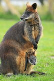 Swamp wallaby. The adult swamp wallaby with her joey stock images