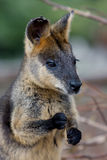 Swamp Wallaby. An Australian Swamp Wallaby sitting with a leaf in is paws Royalty Free Stock Image