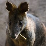 Swamp Wallaby eating leaf Royalty Free Stock Photography