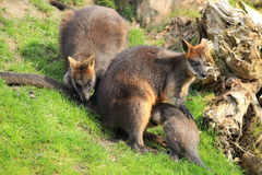 Swamp wallaby family Royalty Free Stock Photography
