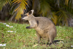 Swamp wallaby Stock Image