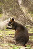 Swamp wallaby feeding Royalty Free Stock Photos