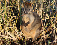 Swamp wallaby Royalty Free Stock Photo