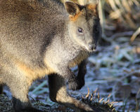 Swamp wallaby Stock Photography