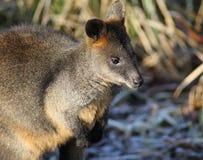 Swamp wallaby Royalty Free Stock Photos