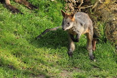 Swamp wallaby joey Royalty Free Stock Photo