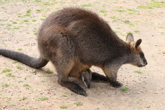 Swamp Wallaby with joey in pouch feeding Royalty Free Stock Image