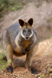Swamp Wallaby Royalty Free Stock Photos
