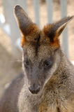 Swamp wallaby (Wallabia bicolor) Royalty Free Stock Images