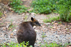 Swamp wallaby (Wallabia bicolor), also known as the black wallab Stock Image