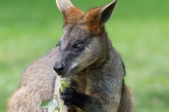 Swamp wallaby (Wallabia bicolor). Swamp wallaby eating a leaf and looking towards viewer Stock Image