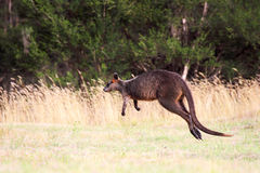 Swamp Wallaby (Wallabia bicolor Royalty Free Stock Photos