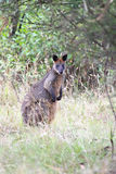 Swamp Wallaby (Wallabia bicolor) Royalty Free Stock Photo