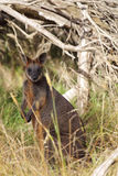 Swamp Wallaby (Wallabia bicolor) Stock Photos