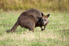 Swamp Wallaby (Wallabia bicolor) Royalty Free Stock Photography