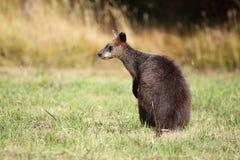 Swamp Wallaby (Wallabia bicolor) Stock Image