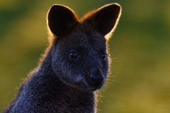 Swamp wallaby, Wallabia bicolor, is a small macropod marsupial of eastern Australia, this kangaroo is also commonly known as the b Stock Image