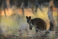 Swamp Wallaby - Wallabia bicolor small macropod marsupial of eastern Australia. Known as the black wallaby, black-tailed wallaby, fern wallaby, black pademelon stock photography