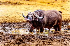 Swamp Water Buffalos standing in a pool of mud in Kruger National Park Stock Photos