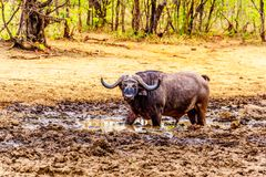 Swamp Water Buffalos standing in a pool of mud in Kruger National Park Stock Photo
