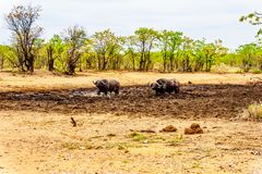 Swamp Water Buffalos standing in a pool of mud in Kruger National Park Royalty Free Stock Images