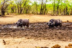 Swamp Water Buffalos standing in a pool of mud in Kruger National Park Royalty Free Stock Image