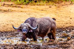 Swamp Water Buffalos standing in a pool of mud in Kruger National Park Stock Images