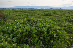 Swamp with water Hyacinths in bloom Stock Photography