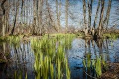 Swamp. Water plants growing in swamp Stock Images