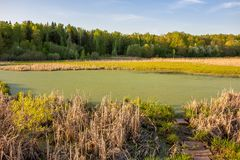 Swamp with water and seaweed royalty free stock image