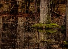 Swamp water tree reflection stock photography