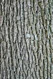 Swamp white oak bark Royalty Free Stock Image