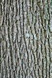 Swamp white oak bark Royalty Free Stock Image