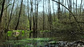 Swamp in the woods. Impassable terrain in the forest. stock footage