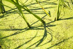 Swamp. Of young reeds, shoots Royalty Free Stock Image