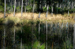 Swampgrass by lake. Forest in mid state Florida with pines and swamp grass Stock Photography