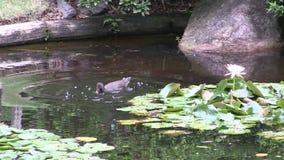 Swamphen и a waterlily в цветени в официально саде японского стиля видеоматериал