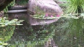 Swamphen и a waterlily в цветени видеоматериал